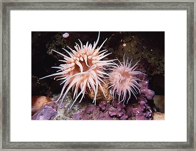Sea Anemones In  Admiralty Inlet Framed Print