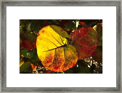 Sea Grape Leaves Framed Print by David Lee Thompson