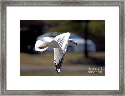 Sea Gull In Flight Framed Print
