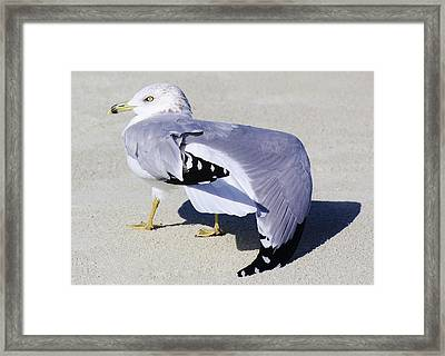 Sea Gull Stretching It Out Framed Print by Paulette Thomas