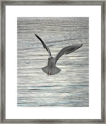Sea Gull Framed Print by Tom Gallacher