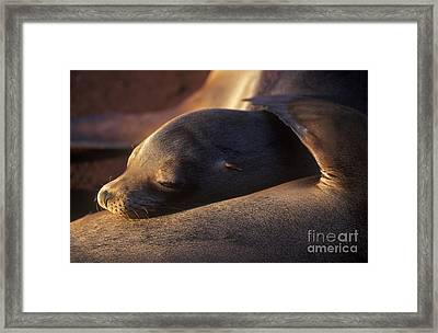 Framed Print featuring the photograph Sea Lion - Galapagos by Craig Lovell