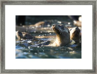 Sea Lion And Friends Framed Print by Steve Munch