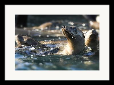 Sea Lions Framed Prints