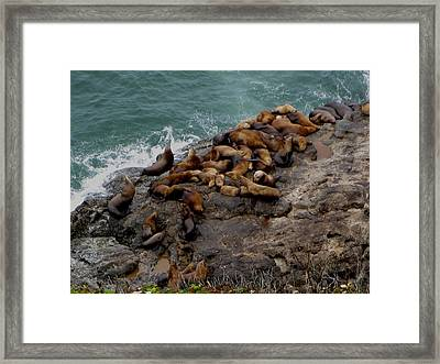 Sea Lions 3 Framed Print by Kathy Long