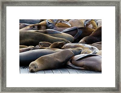 Sea Lions At Pier 39 Framed Print by Hitesh Sawlani