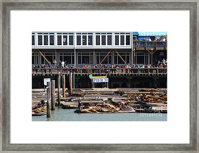 Sea Lions At Pier 39 San Francisco California . 7d14272 Framed Print by Wingsdomain Art and Photography