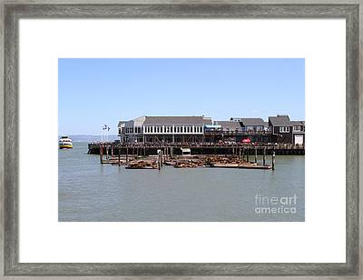 Sea Lions At Pier 39 San Francisco California . 7d14273 Framed Print by Wingsdomain Art and Photography