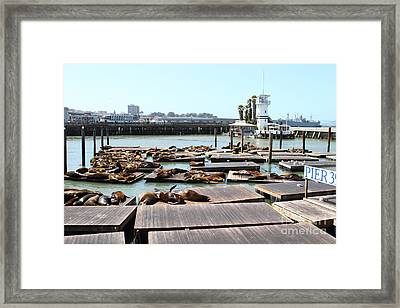 Sea Lions At Pier 39 San Francisco California . 7d14309 Framed Print by Wingsdomain Art and Photography