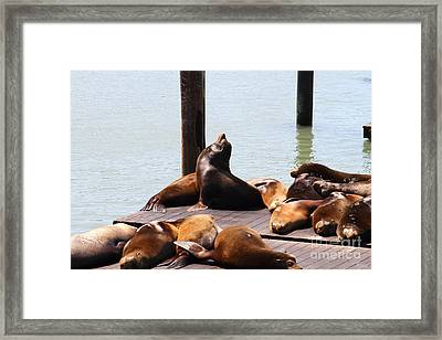 Sea Lions At Pier 39 San Francisco California . 7d14314 Framed Print by Wingsdomain Art and Photography