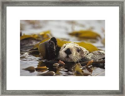Sea Otter Enhydra Lutris Floating Framed Print by Gerry Ellis