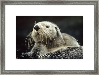 Sea Otter Enhydra Lutris Floating Framed Print by Tim Fitzharris