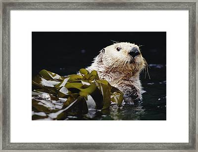 Sea Otter Enhydra Lutris Portrait Framed Print by Gerry Ellis