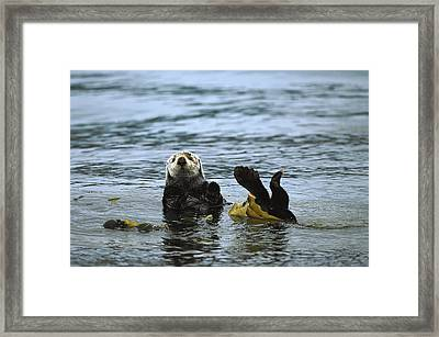 Sea Otter Enhydra Lutris Wrapped Framed Print by Konrad Wothe