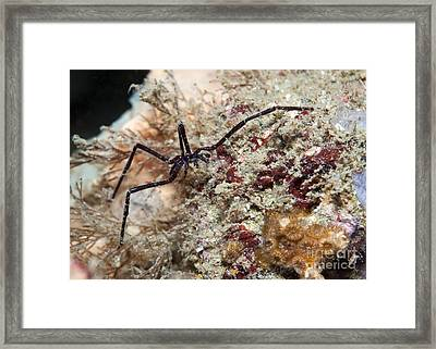 Sea Spider In Atlantic Ocean Framed Print by Karen Doody