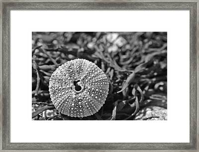 Sea Urchin On Seaweed Framed Print by David Rucker