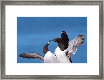 Seabird Love Framed Print by Bruce J Robinson