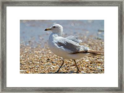 Seagull Framed Print by Betsy Knapp