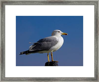 Framed Print featuring the photograph Seagull by David Gleeson