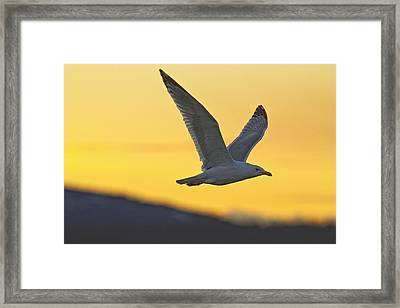 Seagull Flying At Dusk With Sunset Framed Print by Robert Postma
