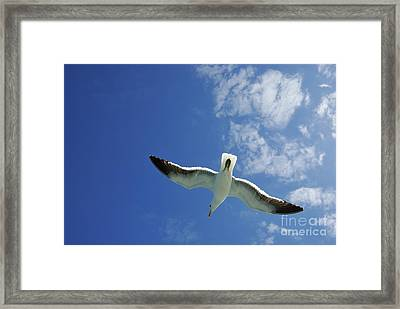 Seagull Flying In The Sky On Blue Sky Framed Print by Sami Sarkis