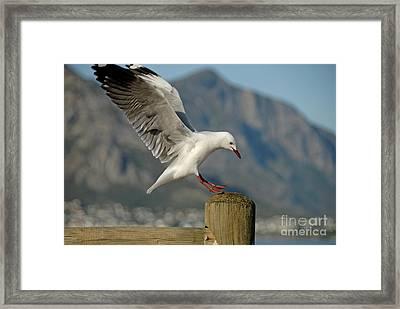 Seagull Landing On Pole Framed Print by Sami Sarkis