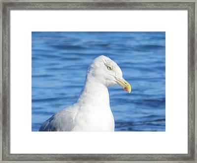 Seagull Framed Print by Pamela Turner