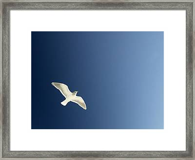 Seagull Soaring Framed Print by Con Tanasiuk