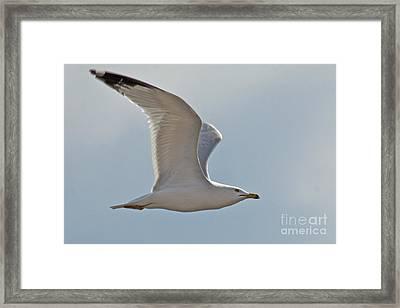 Seagull Soaring Framed Print by Darleen Stry