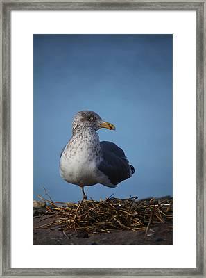 Seagull Stance Framed Print by Karol Livote