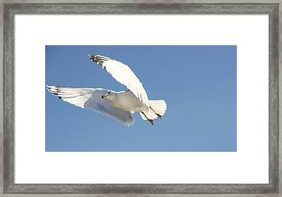 Seagull Framed Print by Steven Michael