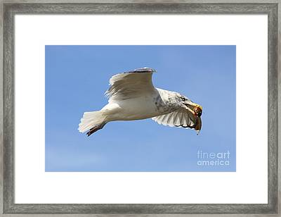 Seagull With Snail Framed Print by Carol Groenen