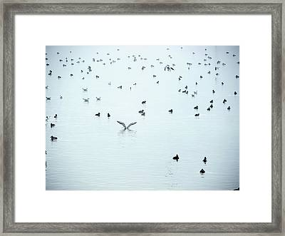Seagulls And Ducks At Lake Constance Framed Print
