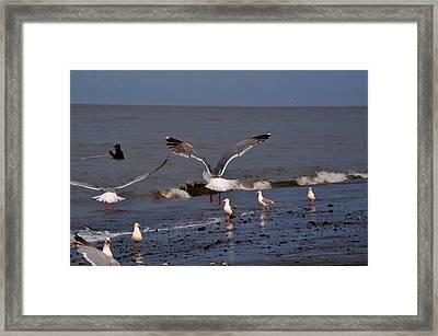 Seagulls Dip Netting  Framed Print by Debra  Miller
