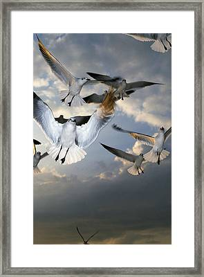 Seagulls In Flight Framed Print by Natural Selection Ralph Curtin