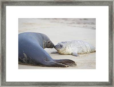 Seal And Pup Together On Beach Framed Print