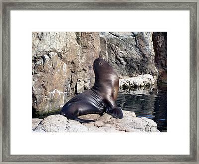 Seal Framed Print by Suhas Tavkar