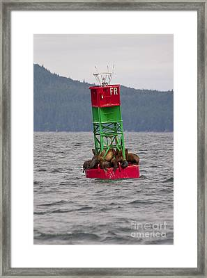 Seals On The Bouy Framed Print by Darcy Michaelchuk