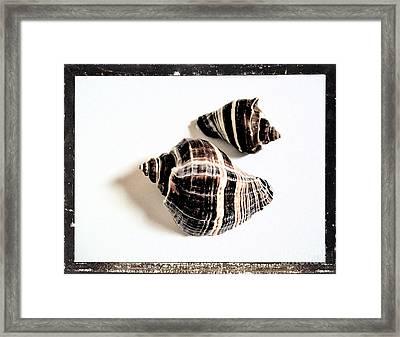 Seashells A Framed Print