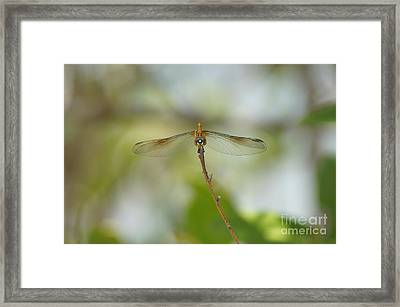 Seaside Dragonlet Framed Print by Lynda Dawson-Youngclaus