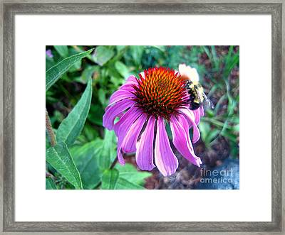 Framed Print featuring the photograph Season For Echinacea  by Kathy Bassett