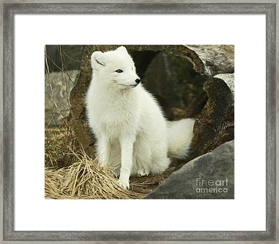 Secret Hide Away- Arctic Fox Framed Print by Inspired Nature Photography Fine Art Photography