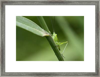 Secretive Katydid Framed Print