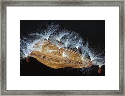 Seed Pod-4- St Lucia Framed Print by Chester Williams