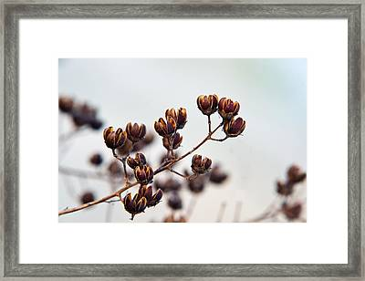 Seed Pods 1 Framed Print by Douglas Barnett
