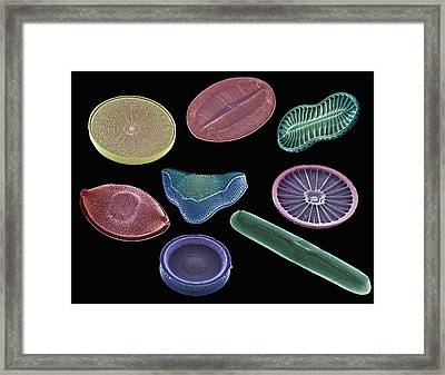 Selection Of Diatoms, Sem Framed Print by Steve Gschmeissner