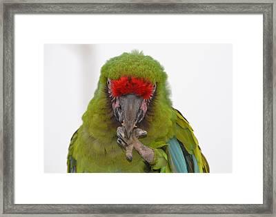 Self-conscious Parrot Framed Print by Naomi Berhane