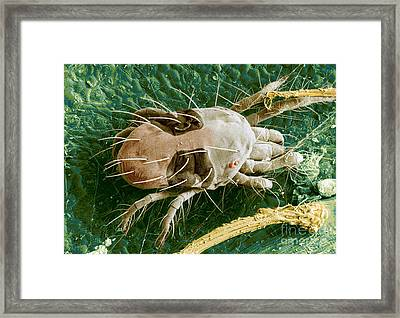 Sem Of Two-spotted Spider Mite Framed Print by Science Source