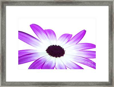 Senetti Magenta Bi-colour Framed Print by Richard Thomas