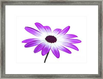 Senetti Magenta High Key Framed Print by Richard Thomas